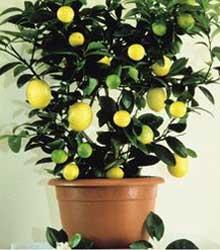Как сформировать крону лимона