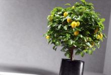 Photo of Как сформировать крону комнатного лимона