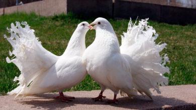 Photo of Как выращивать голубей в домашних условиях?