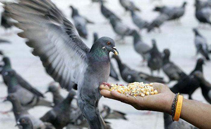 Чем кормить голубей в домашних условиях