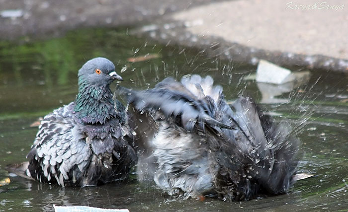 Купание домашних голубей