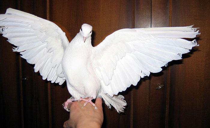 Как приручить голубя к рукам