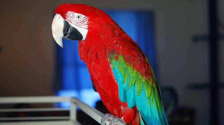 Как научить попугая разговаривать. Пошаговая инструкция