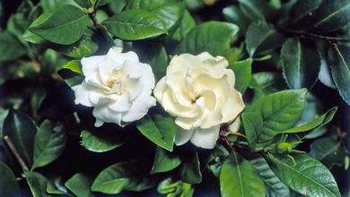 Photo of Гардения жасминовидная