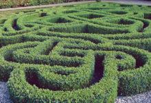 Самшит – универсальное растение для сада