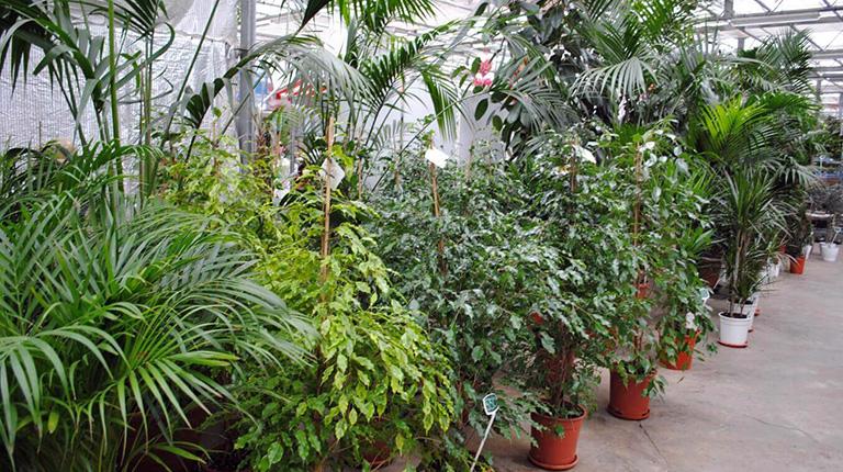Подготовка комнатных растений к летнему сезону