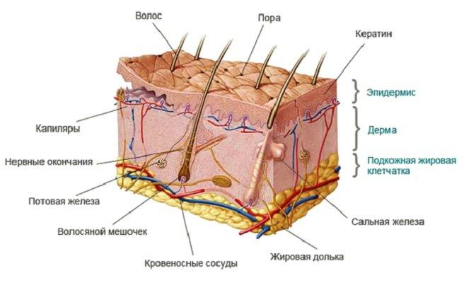 где расположены поры на коже