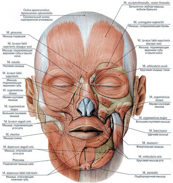 Строение мышц лица